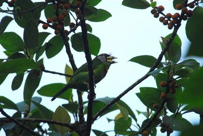 fire-tufted-barbet-fh--Small-.jpg