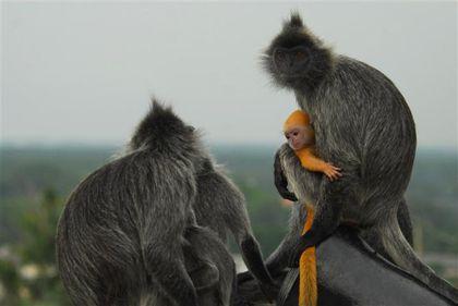silver-leaf-monkeys-kuala-selangor--Small-.jpg