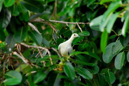 pied-imperial-pigeon-kho-phi-phi--Small-.jpg