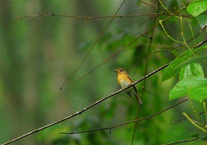 blue-throated-flycatcher-route-namshan--Small-.jpg