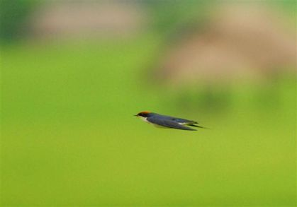 wire-tailed-swallow-hsipaw--Small-.jpg