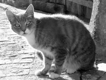 Chat-gris-111.jpg