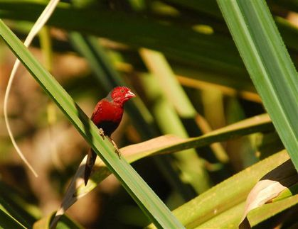 crimson-finch-kununurra--Small-.jpg