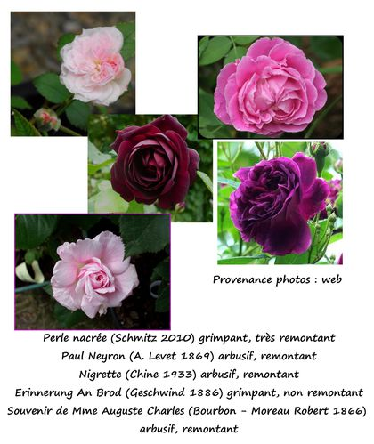 MONTAGE-ROSIERS-achats-mai-2012-Aywers.jpg