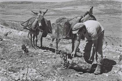 A-KIBBUTZ-MEMBER-WATERING-YOUNG-VINES-ON-THE-HILLSIDE-BELOW.jpg