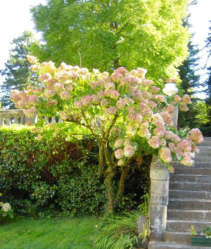 hydrangéa macrophylla (hortensias)