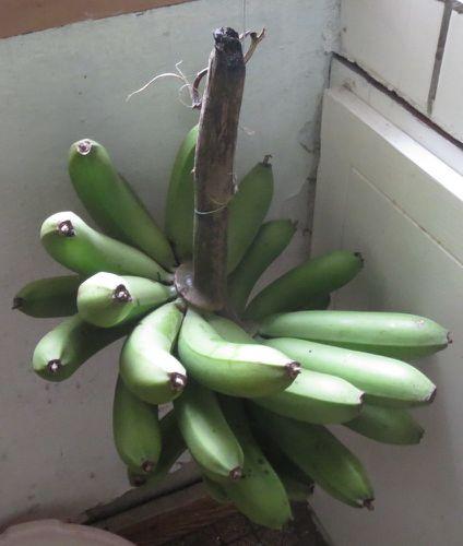 bananes J5