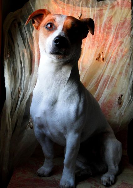 jack russell terrier photographier les animaux