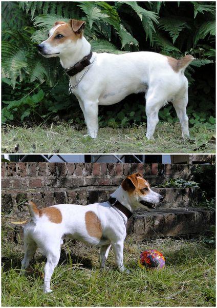 jack Russell terrier 1 an photos