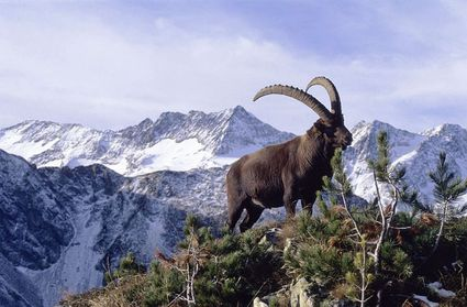 animal-Bouquetin_des_Alpes.jpg
