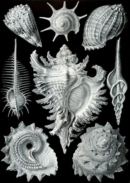 Haeckel_Prosobranchia.jpg