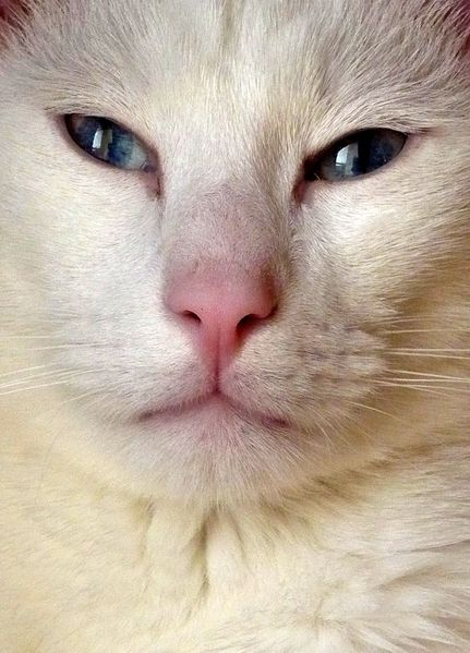 Chat blanc yeux bleus belle photo