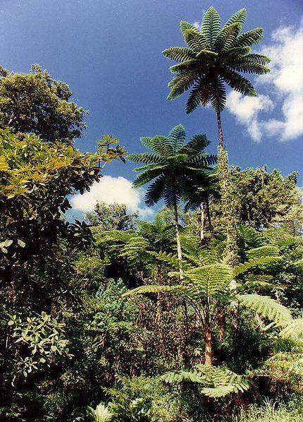 fougere-arborescente-nouvelle-zelande.jpg