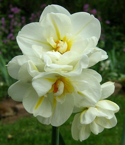narcissus-Winston-Churchill-25-avr-09.jpg