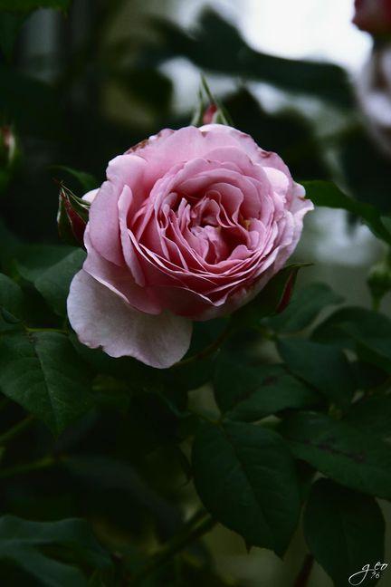 27-07-2011---ROSE-ANCIENNE.JPG