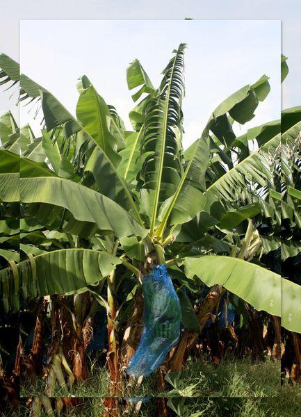 Bananier Martinique Picasa