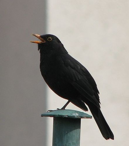 529px-Blackbird-_singing.JPG