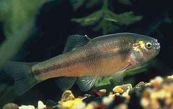 RTEmagicC_Fathead-Minnow_Utah-Division-of-Wildlife-Resource.jpg
