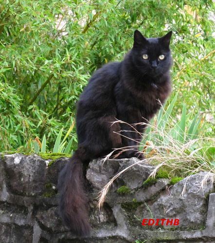 CHAT NOIR (1) - Copie