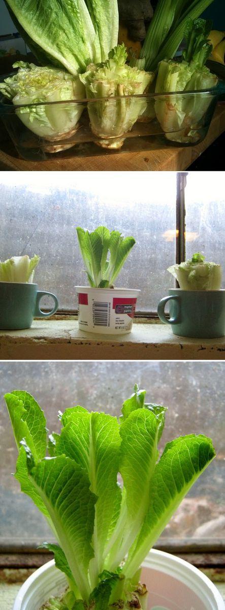 Re-grow-Romaine-Lettuce-Hearts.jpg