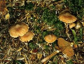 Galerina-unicolor.jpg