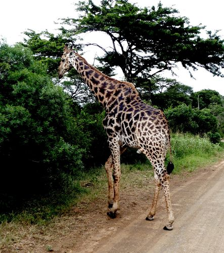 grande girafe hulhulwe