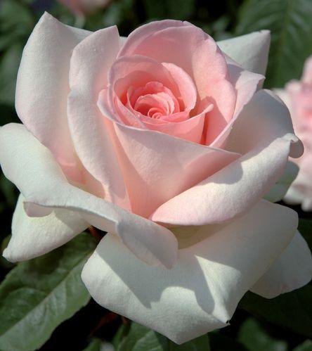 rosier-prince-jardinier-r-meitroni_1.jpg