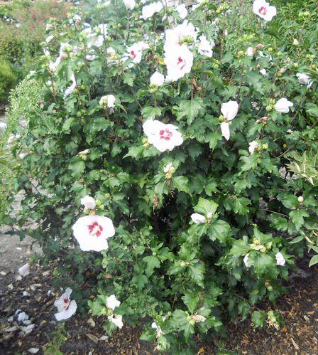 Awesome Fleurs Arbustes Jardin Images - Design Trends 2017 ...
