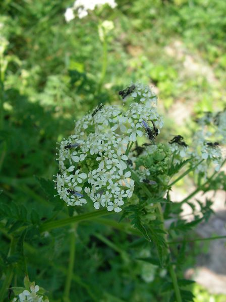 Anthriscus_sylvestris_anthrisquesauvage_canal_avril11--1-.JPG