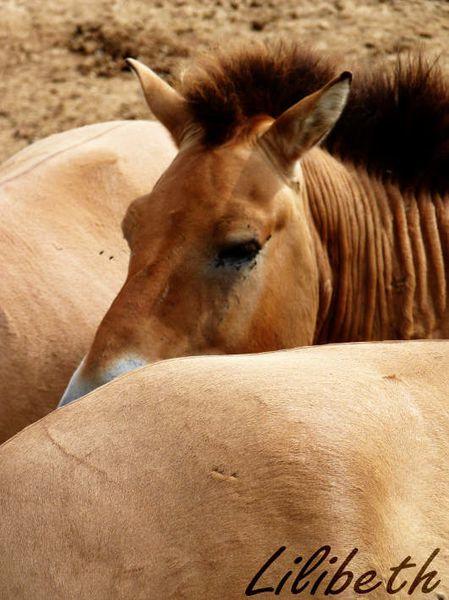 cheval prezwalski thoiry