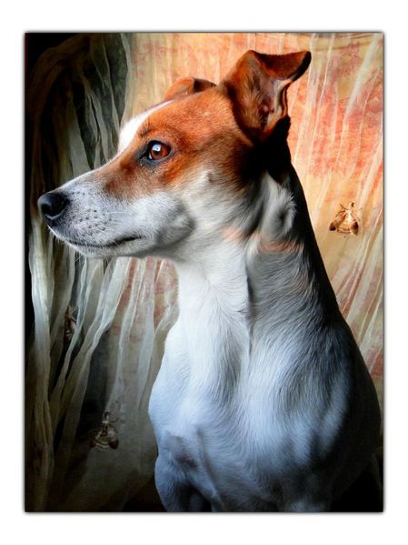 Jack russell terrier prendre en photo animaux