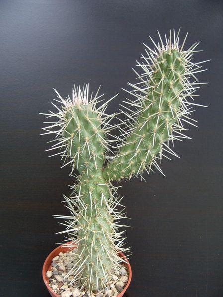Cylindropuntia bigelovii (2)