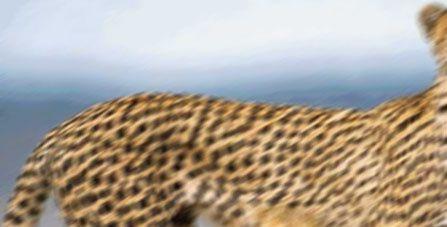 guepard2