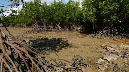 Mangroves-Darwin--2---Small-.JPG