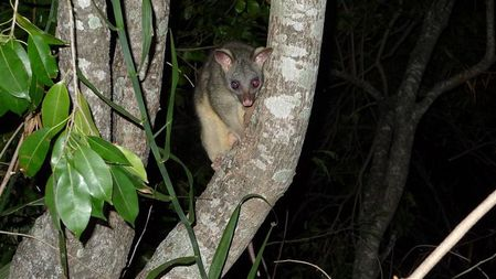Ring-tailed-Possum-Darwin-East-Point--1---Small-.JPG