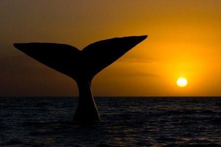 animal-baleine-franche-0.jpg
