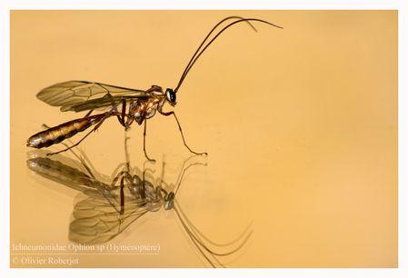 Hyménoptère, Ichneumonidae Ophion sp © Olivier -copie-4