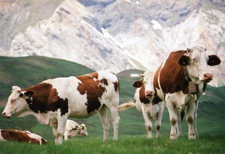 animal vaches 1223052707-1221231