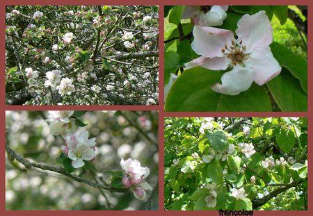 fleurs pommier, cognassier