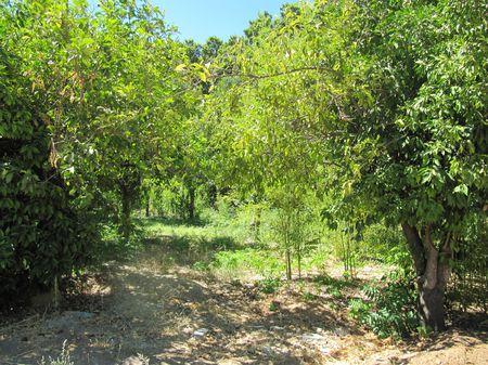 citronniers-j.botanique.JPG