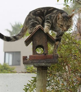 chat chasse oiseaux