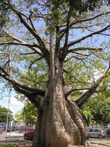 Bresil Recife Baobab 2