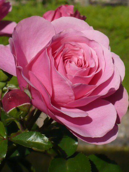 m-rose-rose---grenade-visoterra-28291.jpg