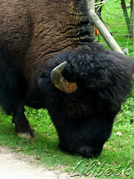 bison parc animalier thoiry