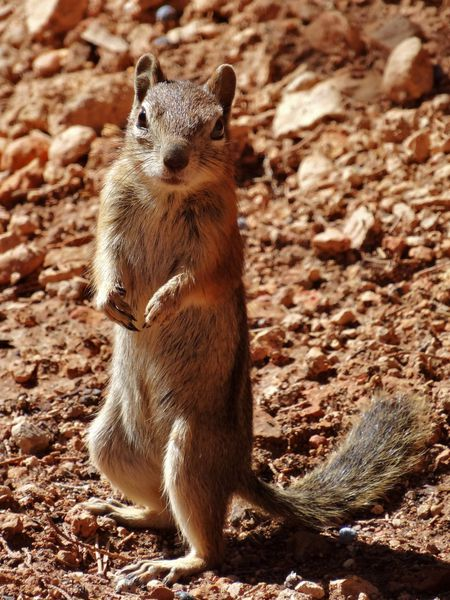 Bryce Canyon Navajo Loop chipmunk