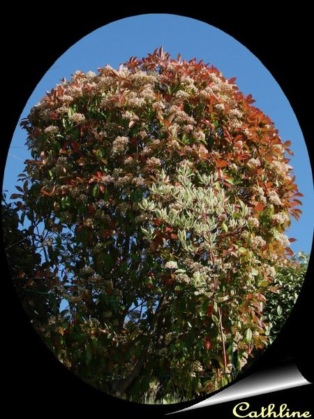 photinia--en-medaillon.jpg
