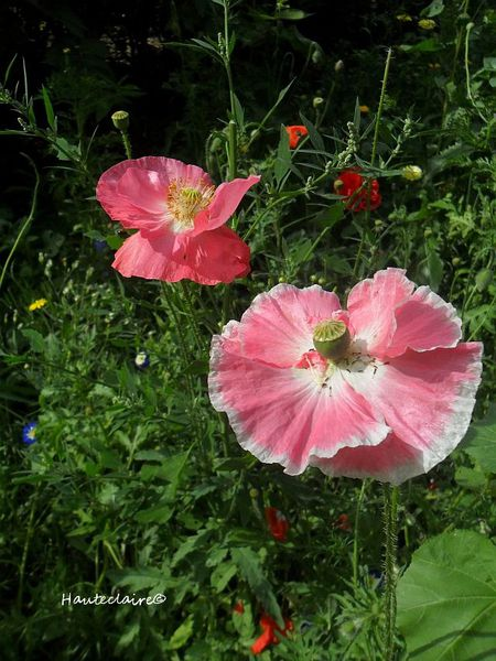 pavot-rose-2.jpg