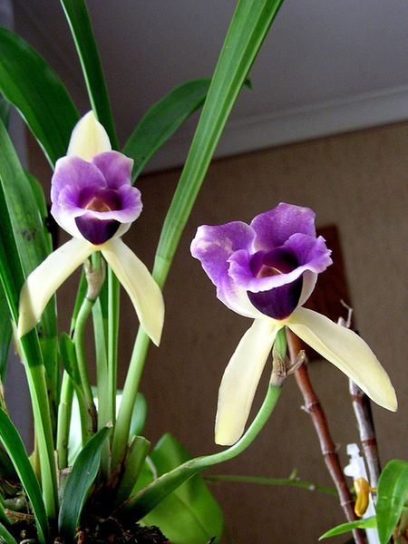 Cochleanthes discolor (4)