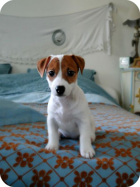 beau chiot jack russell terrier photo valerie albertosi