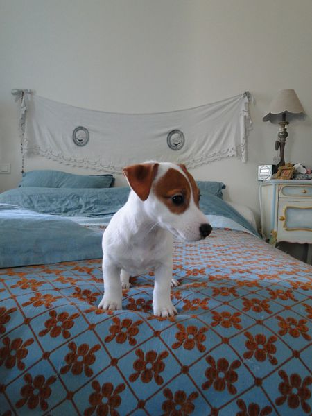 beau chiot jack russell